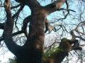 Chêne blanc du chemin du Mas de Rey