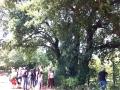 Grand chêne blanc au Pré de Myères