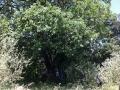Vieux chêne de Rouna