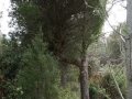 Balai de sorcière (Pin d'Alep)