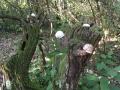 Un olivier qui aime les gastéropodes