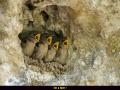 petits dans un nid d'hirondelle de rochers