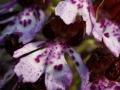 Fleur d'Orchis pourpre