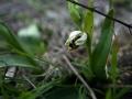 Éclosion d'une Ophrys bécasse