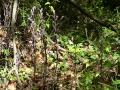 Limodores à feuilles avortées