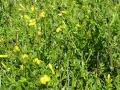 Frutican ou Jasmin jaune