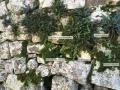 Plantes de murailles