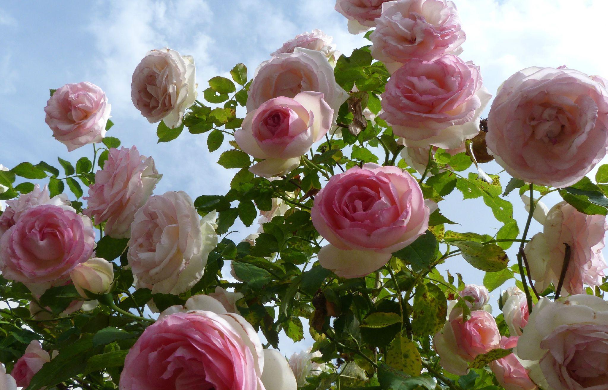 Mardi 12 mai 2015 – Visite d'une roseraie à Arpaillargues