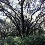 Cépée de chêne vert