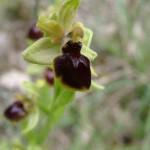 Ophrys Araignée - détail