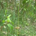 Orchis Brûlé