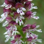 Orchis Brûlé - détail