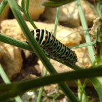 chenille de machaon stade final