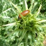 coléoptère sur un chardon marie