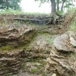 système racinaire d'un chêne près de la fosse