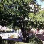 Le parc du château de Caveirac et ses rangées d'Ifs