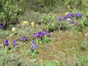Iris sauvages