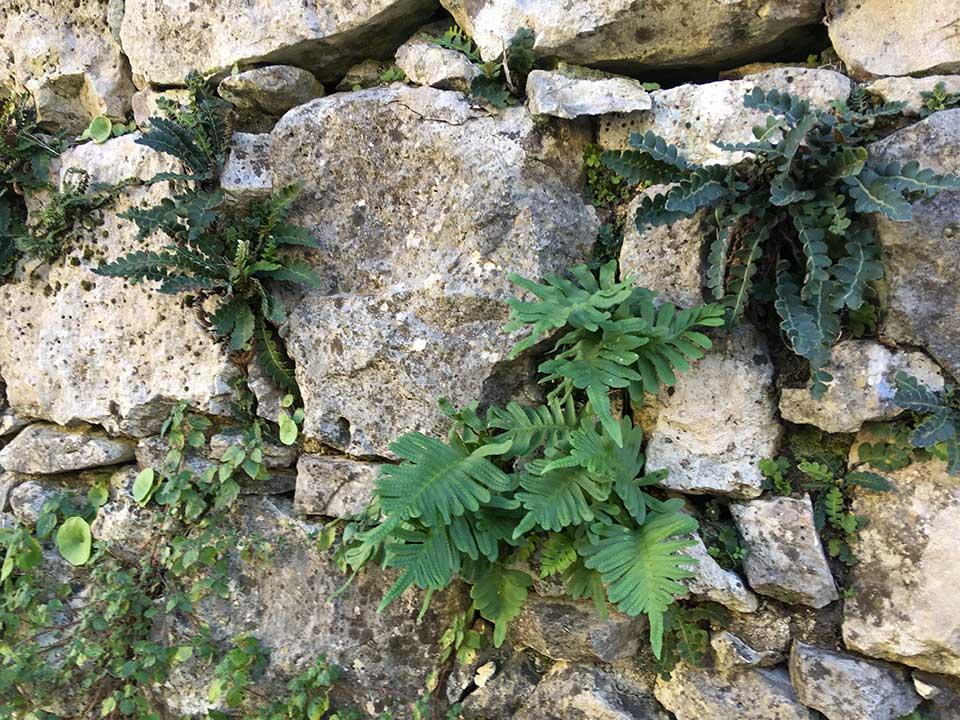 plantes des murs de pierre sèche